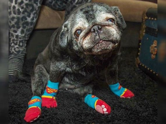 Immobile old Pug gets a new lease on life thanks to the magic of socks