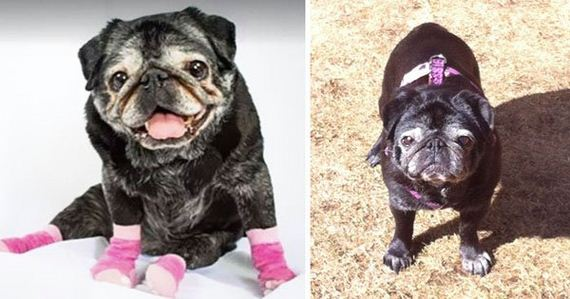 03-old-pug-gets-new-lease