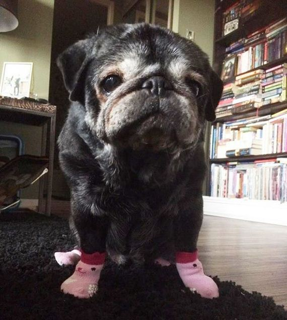 05-old-pug-gets-new-lease