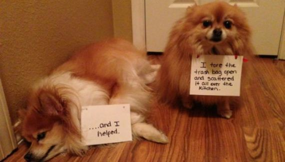 11 Naughty Pomeranians Who Are Totally Proud Of Their Shenanigans