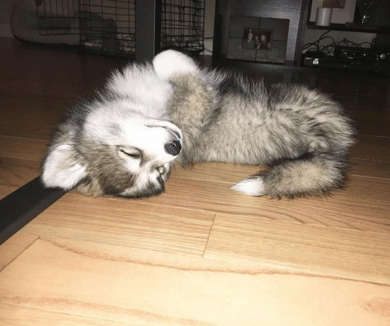 08-norman-the-pomsky