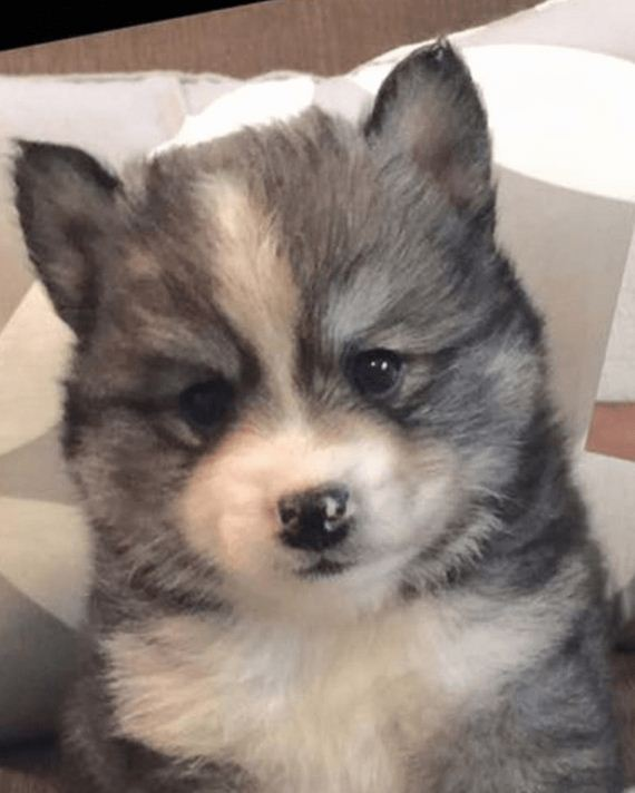 09-norman-the-pomsky