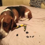 15 Misbehaving Dogs That Can't Hide Their Guilty Faces From Their Owners