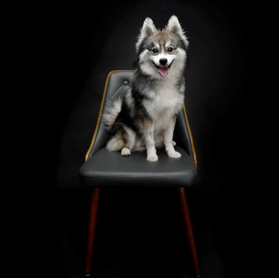 13-norman-the-pomsky