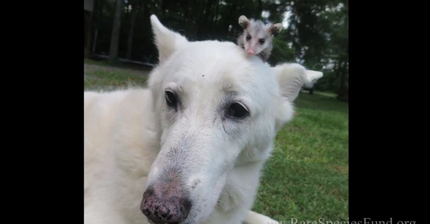 Loving dog adopts orphaned baby opossum
