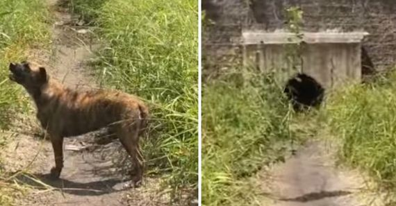 3 Dogs Are Left To Die In A Drainage Ditch With No Way Of Escaping Until Rescuer Comes For Them