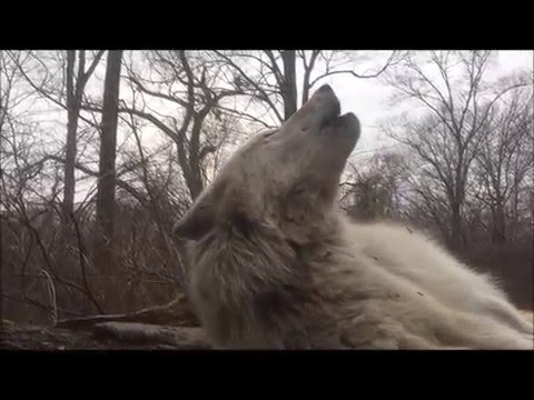 The Laziest Wolf in the World Can't Be Bothered to Get Up to Howl