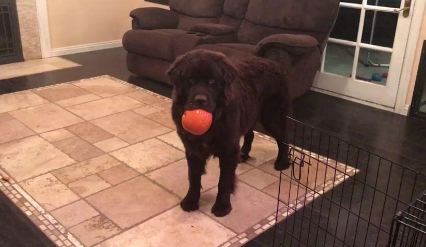 Newfoundland puppy steals little girl's pumpkin