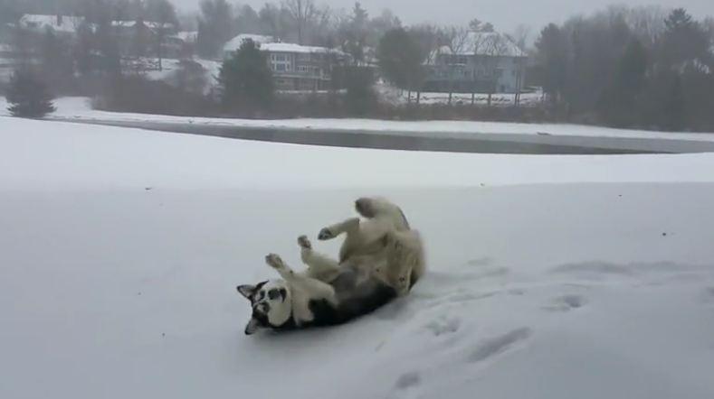 Husky's mad dash through first snowfall of the season