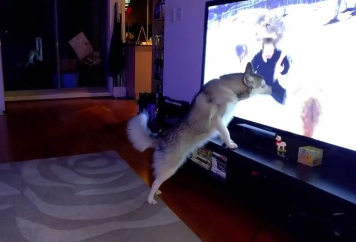 Husky tries to join pack of wolves on TV