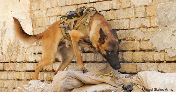 military-dogs5