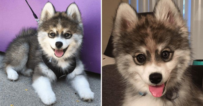 This Puppy Is A Husky-Pomerainian Mix — And People Are Losing Their Minds Over How Cute He Is