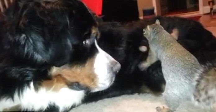 Patient Dog Watches As Squirrel Hilariously Tries To Bury A Nut In His Fur