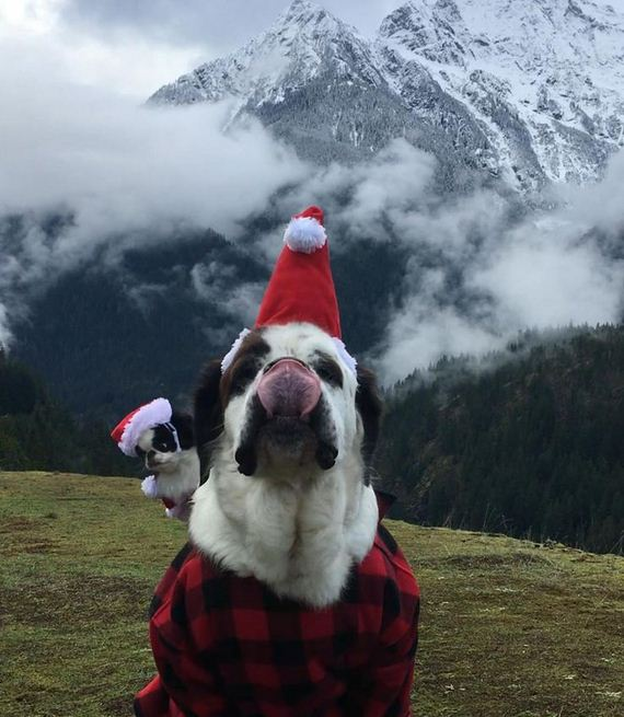 Tiny Dog Experiences The World From Aboard Her Saint Bernard Brother's Back