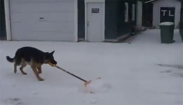 Their German Shepherd grabs a shovel — now sit back and watch in amazement