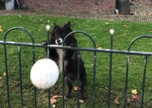 Adorable dog tricks people into playing with her all day long