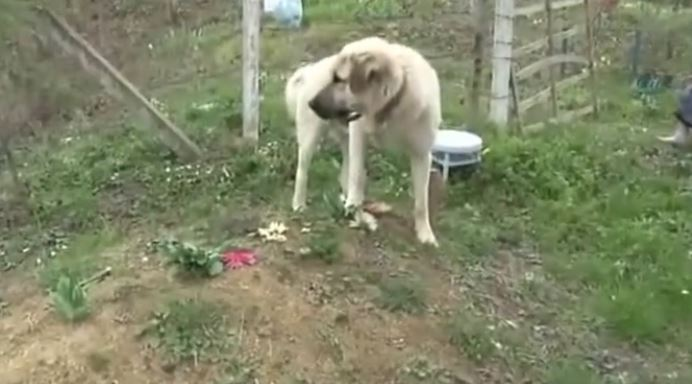 Dog is Crying at His Owner's Grave Every Day