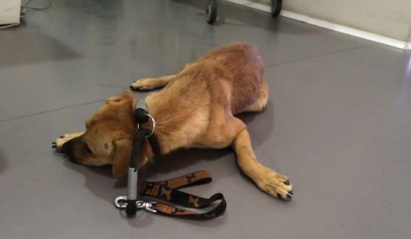 Severely traumatized dog makes astonishing recovery
