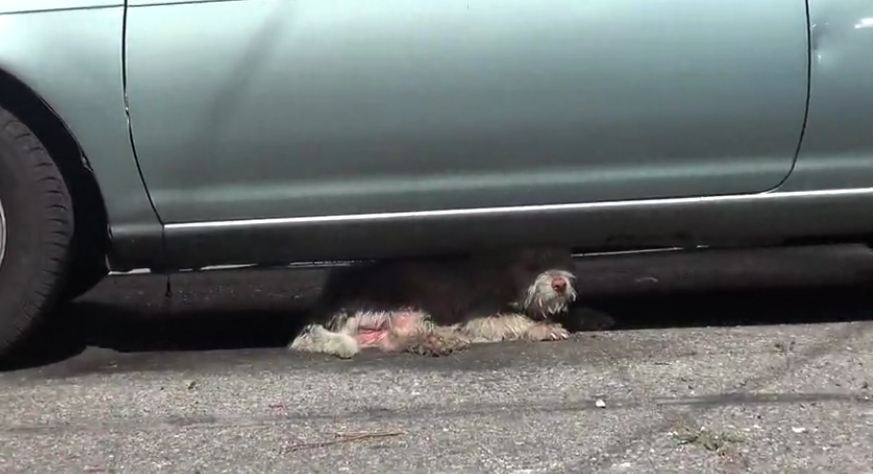Homeless sick dog living under cars for 7 months – finally saved!