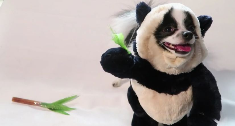 Dancing panda puppy dog will brighten your day