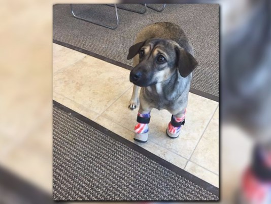 Dog Rescued from Slaughterhouse Gets Specially Designed Prosthetic Legs for Christmas