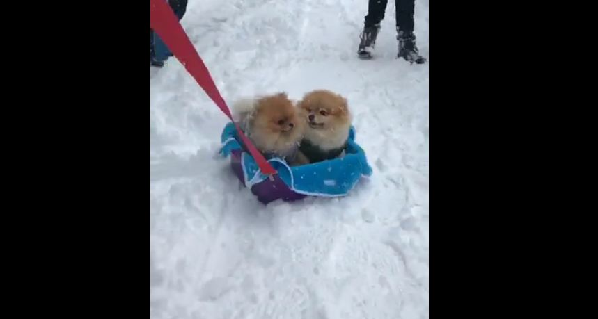 Pomeranians enjoy snowy sleigh ride