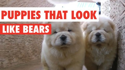 These Puppies Look Just Like Teddy Bears And You Wont Be Able To