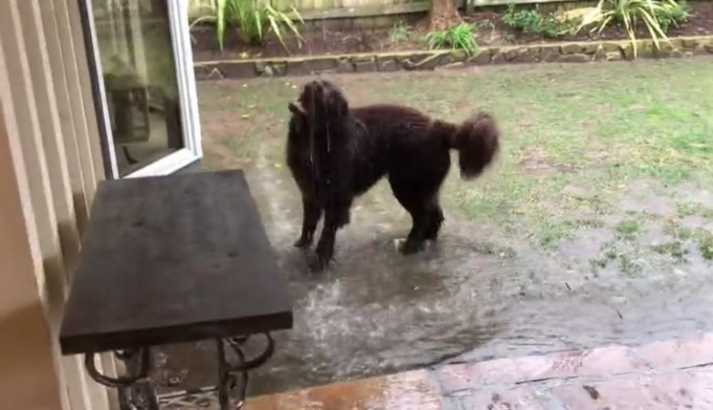 Samson the Newfoundland dog loving a California downpour!