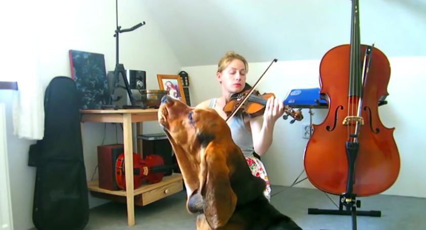 Basset Hound sings along during violin practice