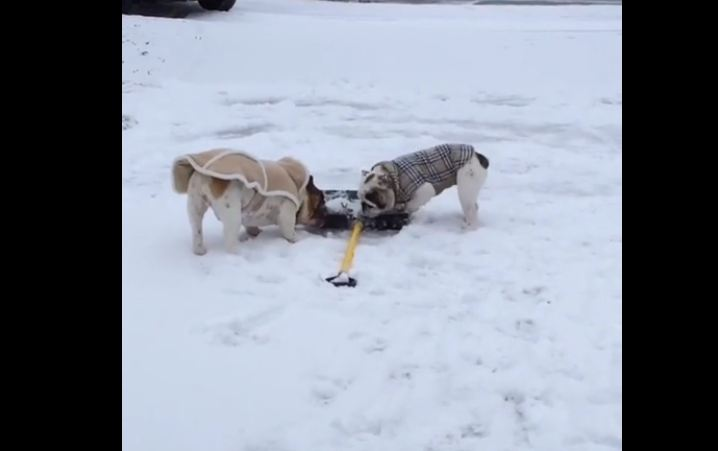 "Bulldogs in sweaters ""help"" shovel driveway"