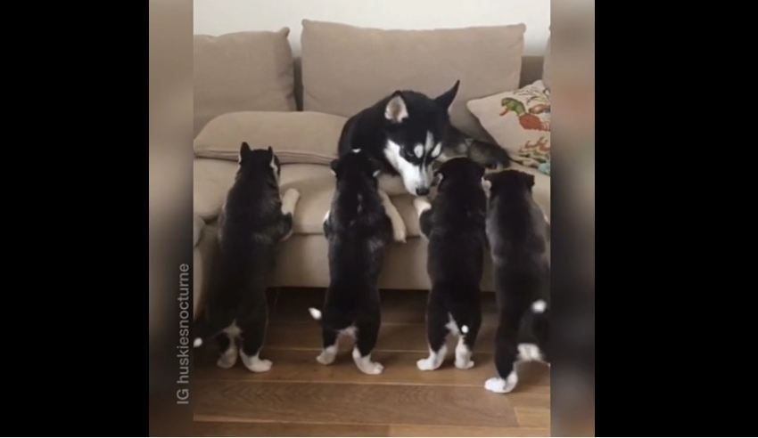 Five husky puppies try to get to their mom