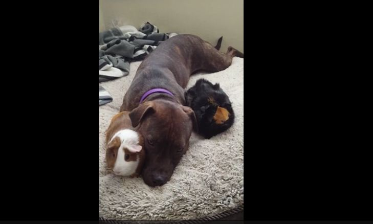 Caring Pit Bull adorably snuggles with guinea pigs!