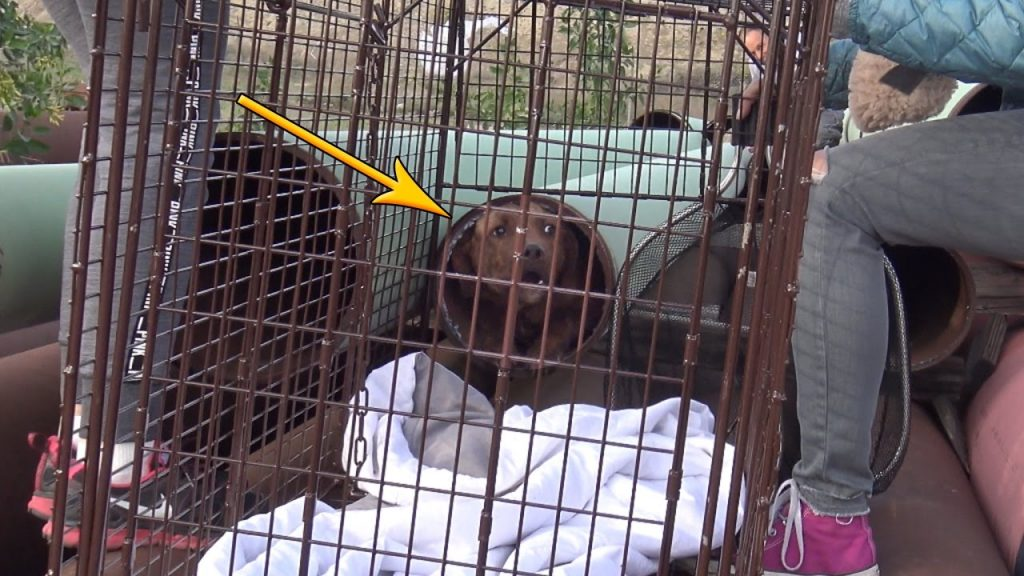 Scared pit bull hid in a tiny pipe, but little did he know his life was about to change forever