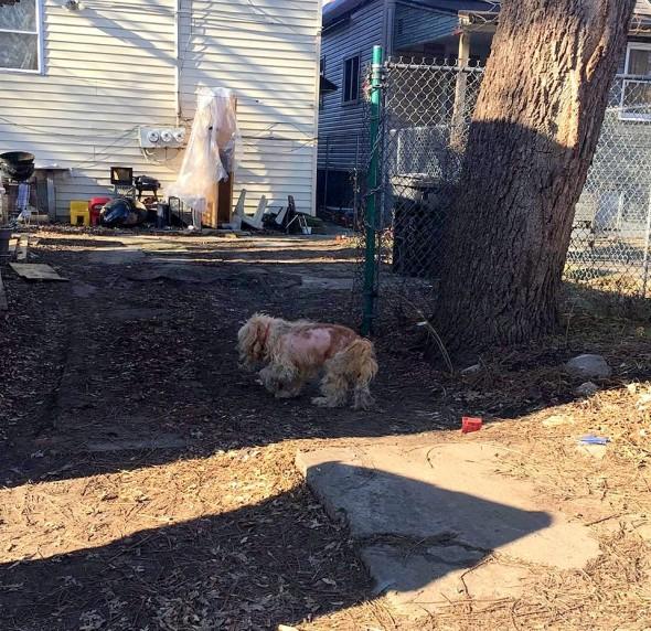 matted-frostbitten-dog-saved-by-a-good-samaritan1