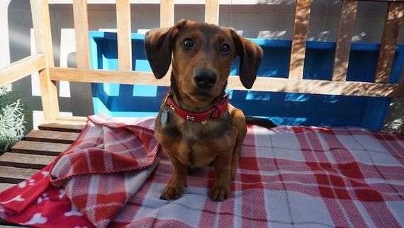 Little Dachshund Was Left At The Shelter Because He's Deaf