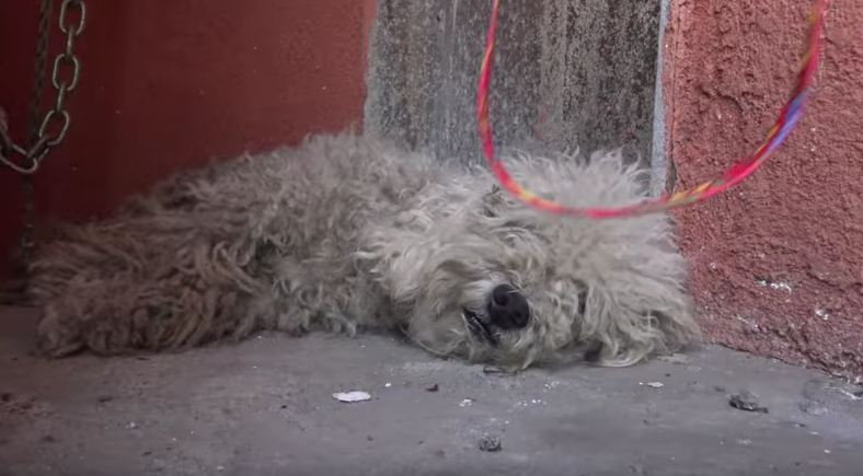 Homeless poodle had completely given up, but then he met a little boy