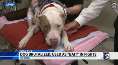Call for Public Assistance for Former Bait Dog Who Will NOT Survive Without Our Help