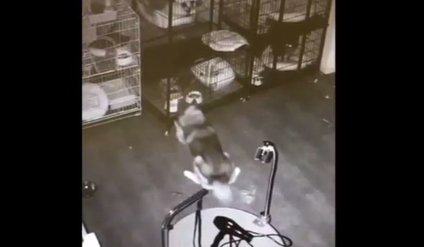 Watch This Husky Escape His Cage & Free His Friends!