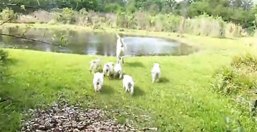 Labrador father leads his puppies to the pond, and then he jumps in