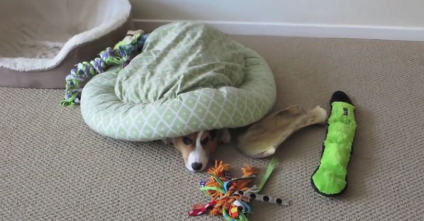When dad sees his Corgi doing this with the bed, he has to record it!
