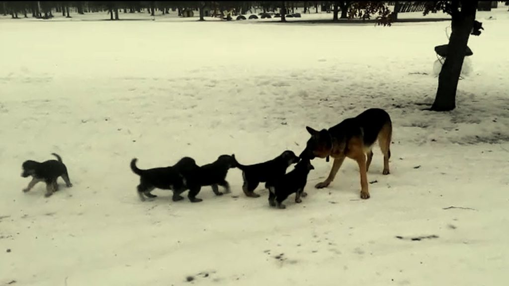 After This German Shepherd Went Outside, He Played With His Pups In The Cutest Way