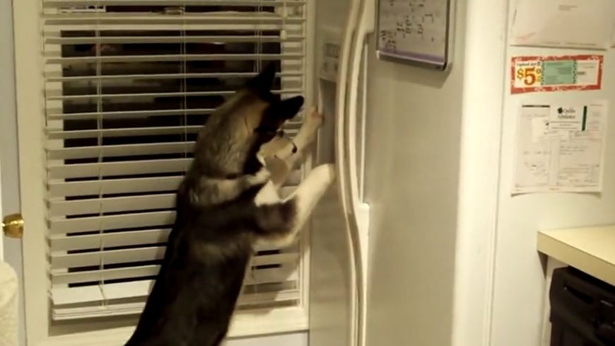 Watch This Adorable Husky Use A Fridge Ice Maker To Get A Yummy Treat