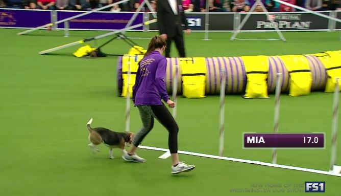 Beagle gets distracted at the dog show, and the crowd goes wild