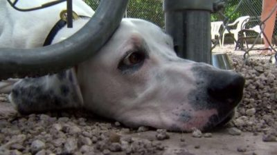 Dog Recovering After Being Thrown Into Traffic From SUV