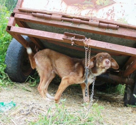 Someone chained their dog up for 10 days because they said he's 'diseased'