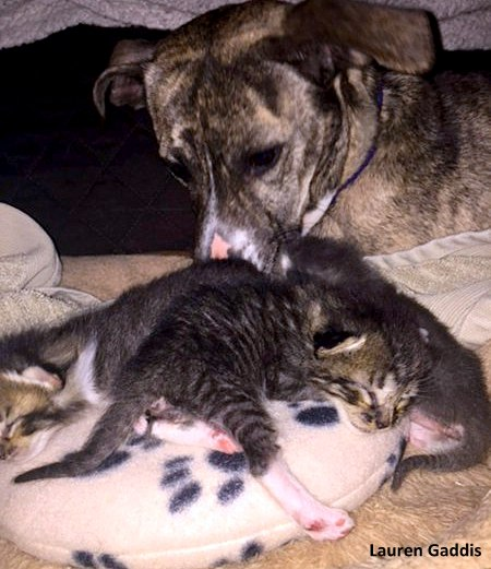 Former Shelter Dog Demands to Mother Her Family's Foster Kittens