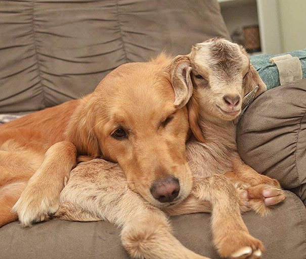 This Dog Thinks She Is The Mother Of These Baby Goats, Can't Stop Cuddling Them