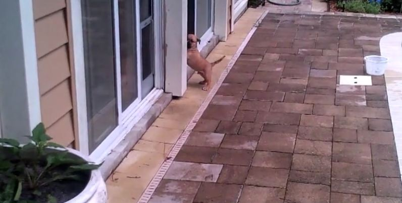 Little pup can't figure out how to get in, but watch how his friend helps out