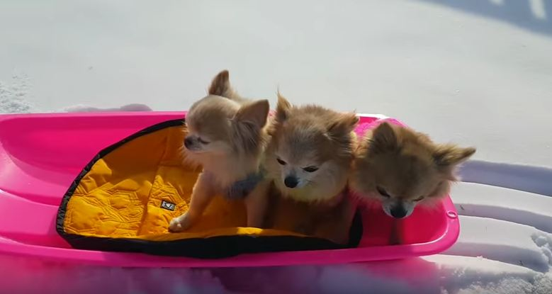 Dogs Enjoy The Winter Time By Riding A Sled