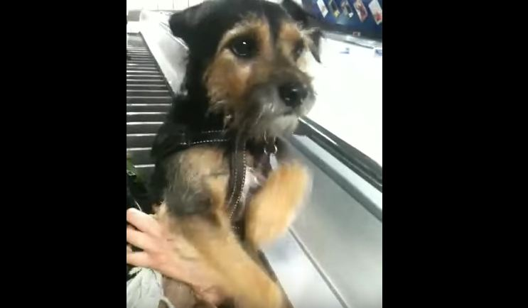 Dogs Who Really Don't Know How To Escalator